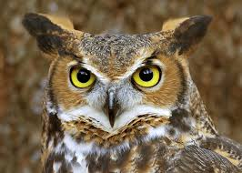 horned owl eyes